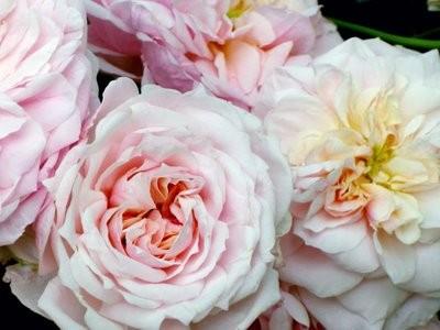Detail Roses Mas de Berard
