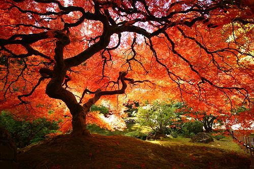 'Arterial Spray' - Portland Japanese Gardens - Fototripper |Beautiful Japanese Trees